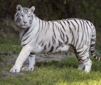 Que Come El Tigre Blanco?