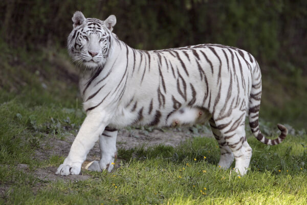que-come-el-tigre-blanco