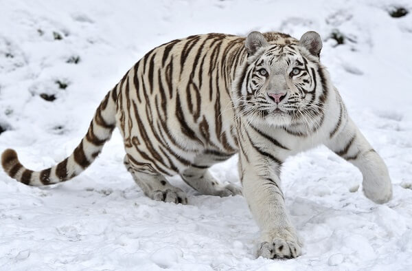 que-come-el-tigre-blanco2